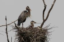 Great blue herons at SVT's Lyons-Cutler Reservation in Sudbury, photographed by Barry Hausmann.