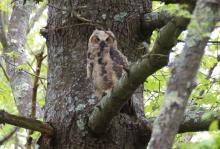 A great horned owl at SVT's Lyons-Cutler Reservation in Sudbury, photographed by Barry Hausmann.