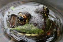 A green frog at SVT's Lyons-Cutler Reservation in Sudbury, photographed by Barry Hausmann.
