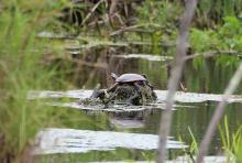 A painted turtle at SVT's Lyons-Cutler Reservation in Sudbury, photographed by Barry Hausmann.