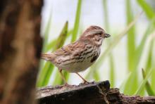 A song sparrow at SVT's Lyons-Cutler Reservation in Sudbury, photographed by Barry Hausmann.