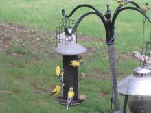 American goldfinches in Stow.