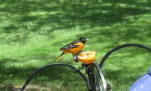 A Baltimore oriole in Stow.