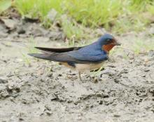 A barn swallow at Breakneck Hill Conservation Land in Southborough, photographed by Steve Forman.