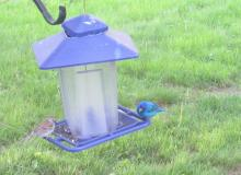 An indigo bunting in Stow.