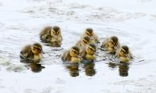 Mallards at Hager Pond in Marlborough, photographed by Steve Forman.