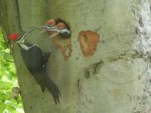 Pileated woodpeckers in Concord, photographed by Terri Ackerman.