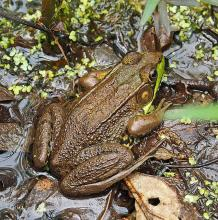 A green frog at Garden in the Woods in Framingham, photographed by Joan Chasan.