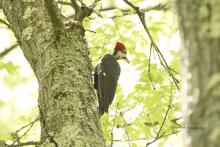A pileated woodpecker at SVT's Upper Mill Brook Conservation Area in Wayland, photographed by Jean M Joyce.