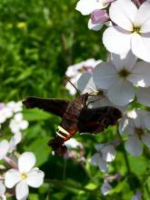 A Nessus sphinx moth in Sudbury, photographed by Dawn Dentzer.