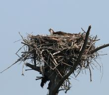 An osprey at Waseeka Wildlife Preserve in Hopkinton, photographed by Steve Forman.