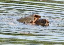 A snapping turtle at Waseeka Wildlife Preserve in Hopkinton, photographed by Steve Forman.