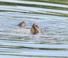 Snapping turtles at Waseeka Wildlife Preserve in Hopkinton, photographed by Steve Forman.