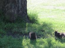 Black colored gray squirrels in Stow.