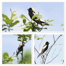 Bobolinks at Heard Farm in Wayland, photographed by Jean Joyce.