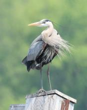 A great blue heron at Great Meadows National Wildlife Refuge in Concord, photographed by Steve Forman.