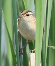 A marsh wren at Great Meadows National Wildlife Refuge in Concord, photographed by Steve Forman.