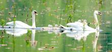 Mute swans at Great Meadows National Wildlife Refuge in Concord, photographed by Steve Forman.