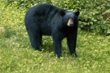 An American black bear in Littleton, photographed by Jane Chrisfield.