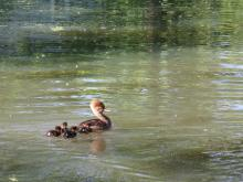 Hooded mergansers in Concord, photographed by Muthe Limpaecher.