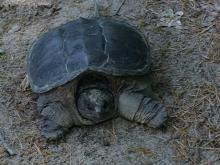 A snapping turtle at SVT's Memorial Forest in Sudbury, photographed by Andrew Linnell.