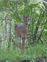 A white-tailed deer in Wayland, photographed by Jim Lagerbom.