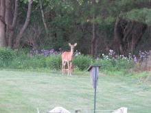 White-tailed deer in Stow.