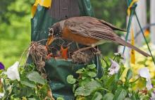 American robins in Framingham, photographed by Joan Chasan.