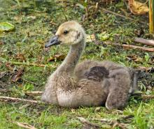 A Canada goose gosling at Great Meadows National Wildlife Refuge in Concord, photographed by Joan Chasan.