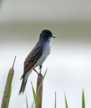 An eastern kingbird at Great Meadows National Wildlife Refuge in Concord, photographed by Joan Chasan.