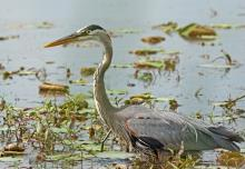 A great blue heron at Great Meadows National Wildlife Refuge in Concord, photographed by Joan Chasan.