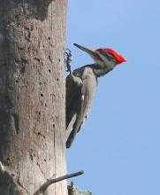 A pileated woodpecker at Mass Audubon's Waseeka Wildlife Sanctuary in Hopkinton, photographed by Steve Forman.