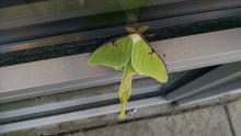 A luna moth in Marlborough, photographed by Laura Lane.