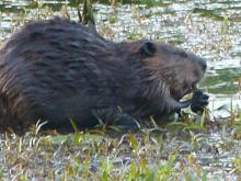 A beaver at a nest in Concord, photographed by Terri Ackerman.
