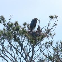 Great blue herons at their nests on the Sudbury Reservoir in Southborough.