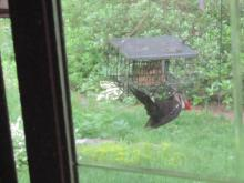 A pileated woodpecker in Stow.