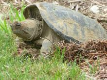 A snapping turtle in Concord, photographed by Terri Ackerman.
