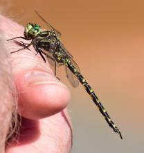 A harlequin darner dragonfly in Westborough, photographed by Mike Lowery.