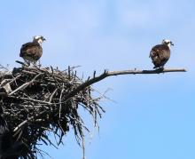 Ospreys at Mass Audubon's Waseeka Wildlife Sanctuary in Hopkinton, photographed by Steve Forman.