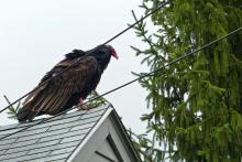 A turkey vulture in Littleton, photographed by Jane Chrisfield.
