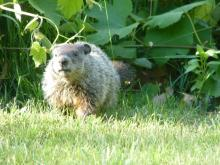 A woodchuck in Concord, photographed by Terri Ackerman.