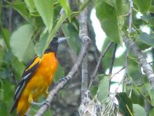 A Baltimore oriole in Concord, photographed by Terri Ackerman.