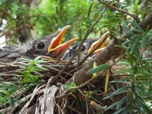 An American robin nest in Harvard, photographed by Robin Right.