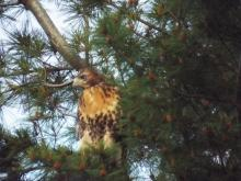 A red-tailed hawk in Harvard, photographed by Robin Right.