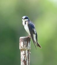 A tree swallow in Natick, photographed by Steve Forman.