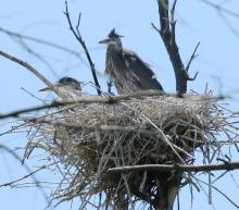 Great blue herons at a nest in Concord, photographed by Steve Forman.