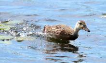 A mallard at Farm Pond in Framingham, photographed by Steve Forman.