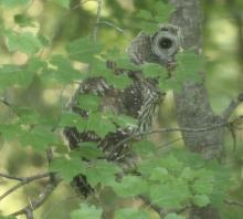A barred owl in Sudbury, photographed by Dan Trippe.