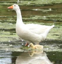 A domestic goose and gosling at Hager Pond in Marlborough, photographed by Steve Forman.