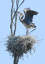 Great blue herons on a nest at SVT's Lyons-Cutler Reservation in Sudbury, photographed by Steve Forman.